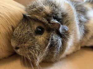 Guinea Pigs -SOLD-