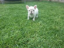 French Bulldog Puppies Available Drouin Baw Baw Area Preview