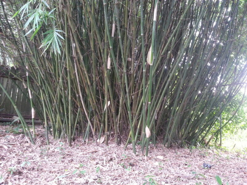 Clumping bamboo rhizome root ball (actual priority USPS shipping)