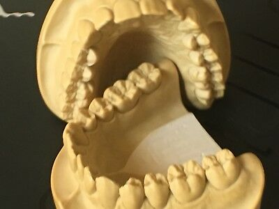 Dental Anatomy Study Presentation Models Upper Lower New