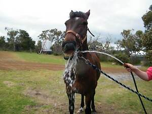 Standardbred Gelding Albany Albany Area Preview