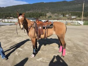Registered APHA Mare, Started head horse