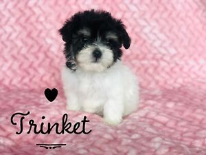 Havanese | Adopt Dogs & Puppies Locally in Canada | Kijiji