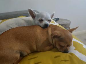 Chihuahua for sale Labrador Gold Coast City Preview