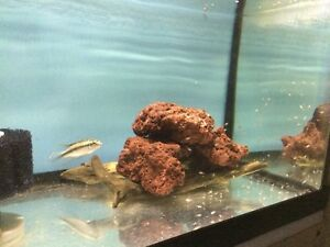 Kribensis cichlid for sale