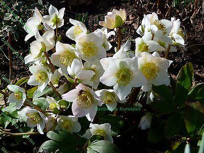 HELLEBORUS NIGER (CHRISTMAS ROSE) EVERGREEN PERENNIAL PLANT POTTED 1 LITRE