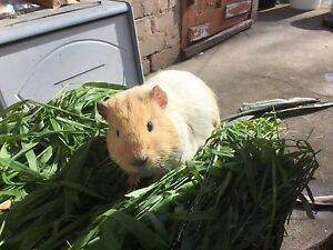 4 Male Guinea pig are looking for new home North Melbourne Melbourne City Preview
