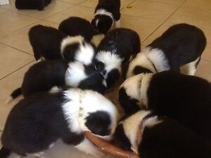 Border Collie pups black & white. Waroona Waroona Area Preview