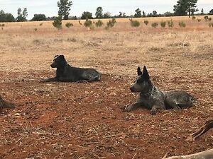 Big stumpy cattle dogs Tamworth Tamworth City Preview