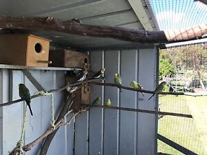 Birds for sale Warrenup Albany Area Preview