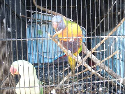 Alexandrine parrot, female, rainbow lorikeet, 2 cages Birkdale Redland Area Preview