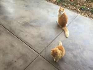 2 cats looking for a new home Girrawheen Wanneroo Area Preview