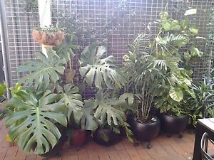 Garage sale of indoor plants and pots on Saturday after 9:00am Unley Unley Area Preview
