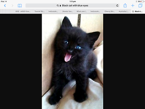 WANTED:Black Cat Blue Eyes Roxburgh Park Hume Area Preview
