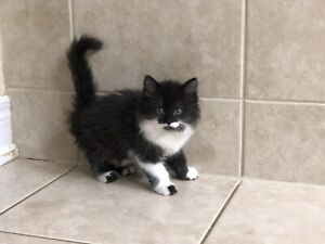Adopt Cats & Kittens Locally in Toronto (GTA)   Pets