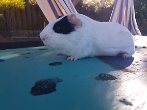 Male guinea pig for sale Eaton Dardanup Area Preview