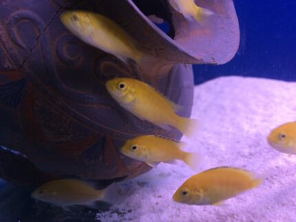 Electric yellow cichlids.  Evanston Park Gawler Area Preview