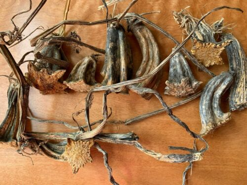 Pumpkin & Gourd Stems Lot of 10, Natural Dried Fall Craft Tops Twisted Lot #39