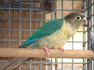 Handraised Blue Yellowsided Conure & Handraised Blue Pineapple He Wattle Grove Liverpool Area Preview