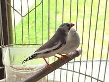 Zebra finches, male or female available Penshurst Hurstville Area Preview