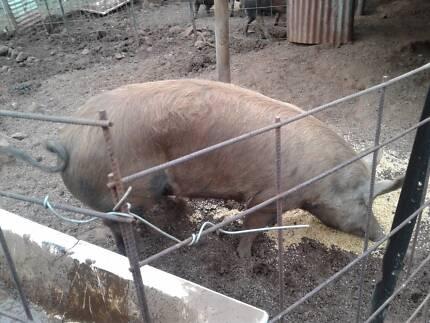Berkshire Pig for Sale