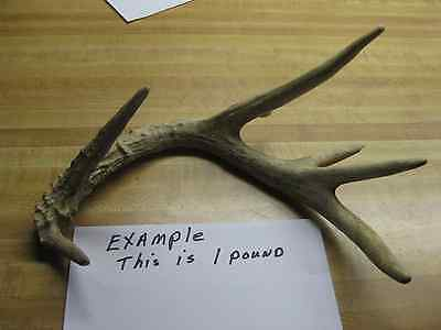 One Pound Antlers