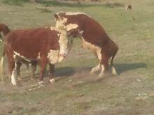 10-11 month old Hereford Bull Calves Pure Bred Great Quality Tullamarine Hume Area Preview