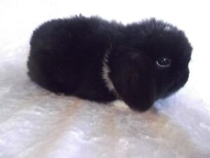 MINI LOP RABBITS Berry Shoalhaven Area Preview