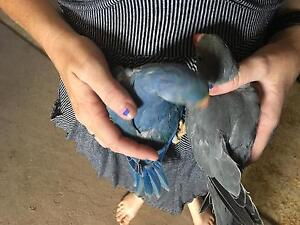 Indian Ringneck baby's Cannon Hill Brisbane South East Preview