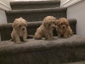 Teddy Bear Toy Poodle Puppies