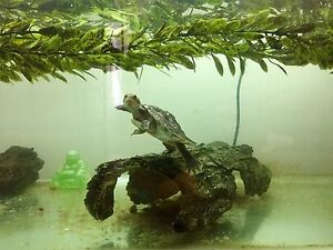 Complete turtle setup with murray river turtle Parkville Melbourne City Preview
