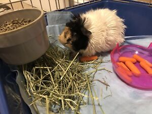 Handsome guinea pig ( NEED GONE ASAP )