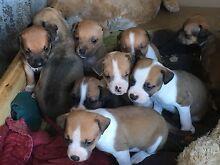 Gorgeous puppies Acacia Ridge Brisbane South West Preview