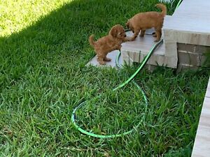 Red Toy Poodle Females Dna Tested