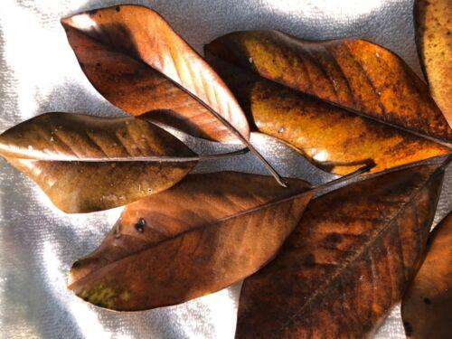 Lot 30 Magnolia  Leaves  Glossy Sheen Baskets