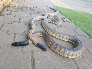 Black headed python proven breeding pair will swap for other snakes