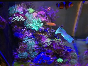 60 gallon star fire reef tank