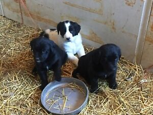 Puppies For Sale For Sale | Adopt Dogs & Puppies Locally in Ontario