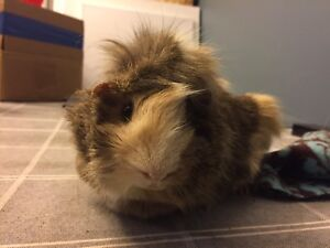 ISO Young Female Guinea Pig