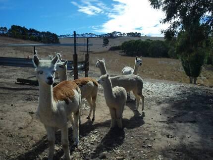 alpacas 4 sale