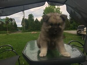 Chiot Keeshond pure race