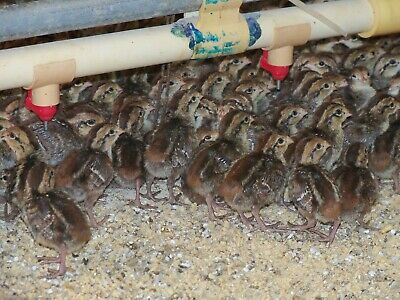 100northern Bobwhite Quail Eggs Npip And Ai Tested Clean