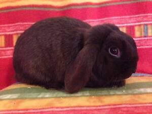 Male Mini Lop Rabbit Douglas Park Wollondilly Area Preview