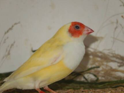 Wanted: WTB aus yellow gouldians and red zebs