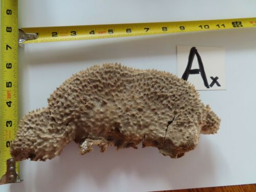 1 -Sea Sponge - Natural Sea Fan - Coral - Sea Whip - Free Shipping