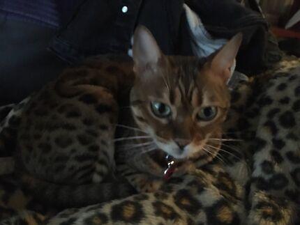 Female desexed bengal cat