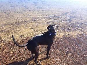 Labrador X Pointer For Sale Mount Eliza Mornington Peninsula Preview
