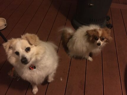 2 dogs. A pure bred papillion and a Pomeranian cross Maltese