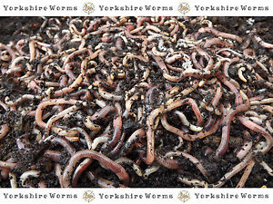 100g-Dendrobaena-Earthworms-Fishing-Composting-Wormeries-REPTILES