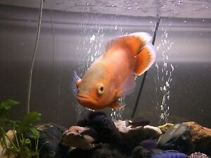 400L tank and fish for sale Mitchelton Brisbane North West Preview